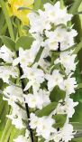 Dendrobium Nobilee Mini