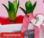 Hyacinthen mit Herzdeko