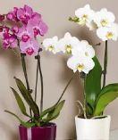 Schmetterlings-Orchidee von Gartenkrone