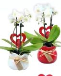 Mini-Orchidee von Dehner Marken Qualität
