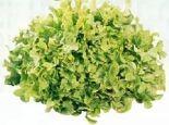 Eichblattsalate