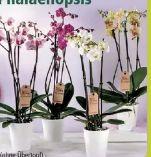 Deko Orchidee Phalaenopsis
