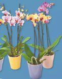 Phalaenopsis-Schmetterlings-Orchideen Micro