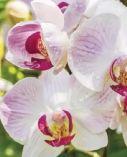 Schmetterlings-Orchidee