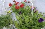 Balkon-Ampelpflanzen
