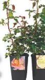 Beetrosen