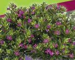 Köcherblümchen/Japanische Scheinmyrth von Piardino