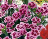 Gartennelke Dianthus Pink Kisses von Piardino