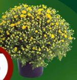 XXL Chrysanthemen-Busch