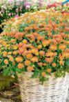 Chrysanthemenbusch