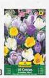 Krokusse Grandiflora Mischung von FloraSelf
