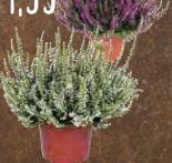 Calluna vulgaris Sommerheide