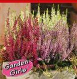 Heidegarten Calluna Vulgaris von Garden Girls