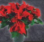 Weihnachtsstern Busch