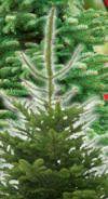 Bio-Weihnachtsbaum von Kölle's Bio