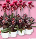 Orchidee Frauenschuh Paphiopedilum