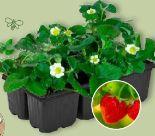 Erdbeerpflanzen von Garden Feelings