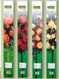 Mini-Stammrose von Garden Feelings