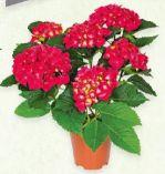 Hortensien-Busch von Gardenline