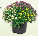 Chrysanthemen-Busch von Gardenline