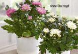 Blühende Chrysanthemen von Gardenline