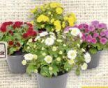 Bauern-Chrysantheme von Rewe Beste Wahl