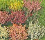Besenheide Calluna vulgaris von Garden Girls