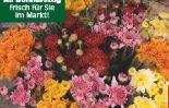 Freiland Chrysantheme