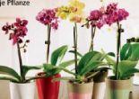 Mini Orchidee Phalaenopsis