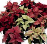 Weihnachtsstern Poinsettia
