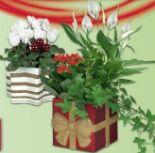 Blühpflanze in Weihnachtskeramik