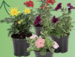 Balkonbeetpflanzen