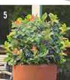 Blaubeere Pflanze