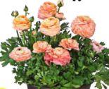 Ranunkel-Schale Ranunculus Asiaticus von Dehner Premium