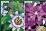Winterharte Kletterpflanzen von Finest Garden
