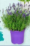 Lavendel von Gardenline