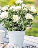Patio-Rosen von Gartenkrone