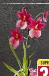 Orchideen-Mix
