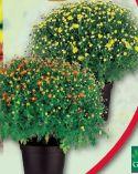 Bauernchrysantheme von Finest Garden