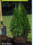 Lebensbäume Smaragd