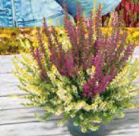 Sommerheide Colour Crown von Beauty Ladies