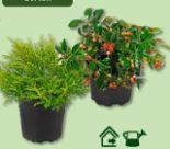 Rabbepflanzung von Gardenline