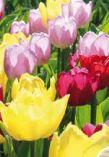 Blumenzwiebeln