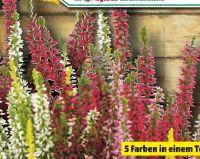 Knospen-Heide Calluna vulgaris von Beauty Ladies