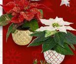 Mini-Weihnachtssterne