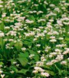 Bio Bärlauch Pflanzen