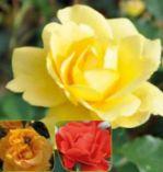 Blütenzauber-Kollektion von Kölle's Beste