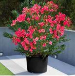 Oleanderbusch von Garden Feelings