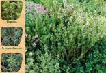 Thymian-Sortenvielfalt von Kölle's Bio