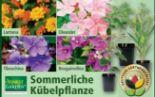 Sommerliche Kübelpflanze von Finest Garden
